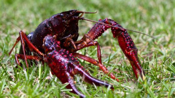 cangrejo-rojo-americano